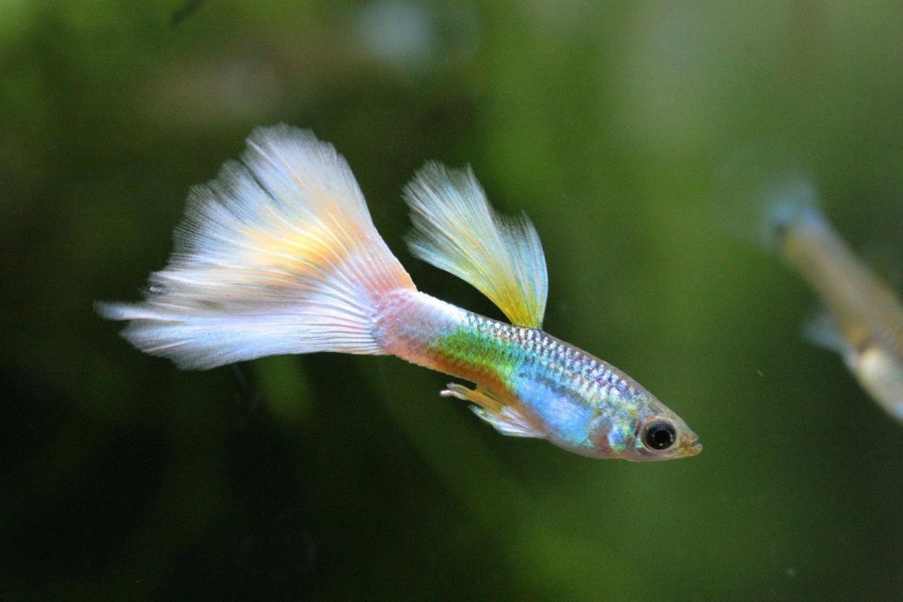 ikan gupy